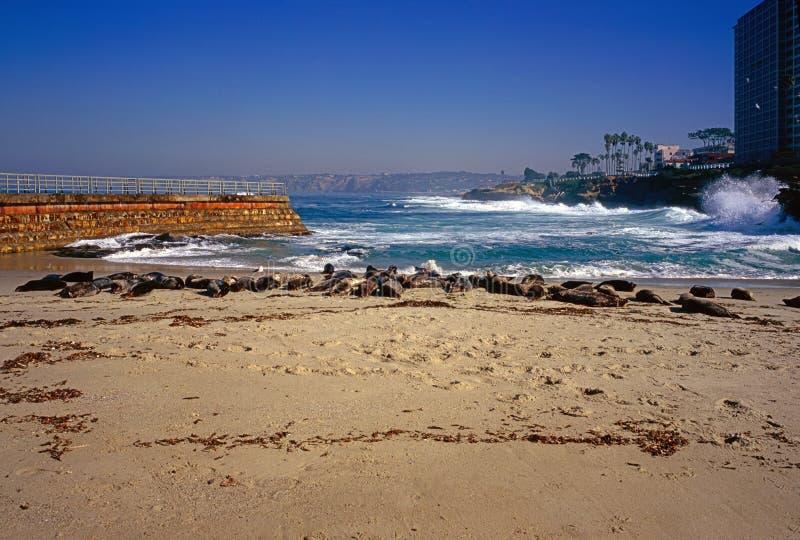 封印海滩在拉霍亚 免版税库存照片