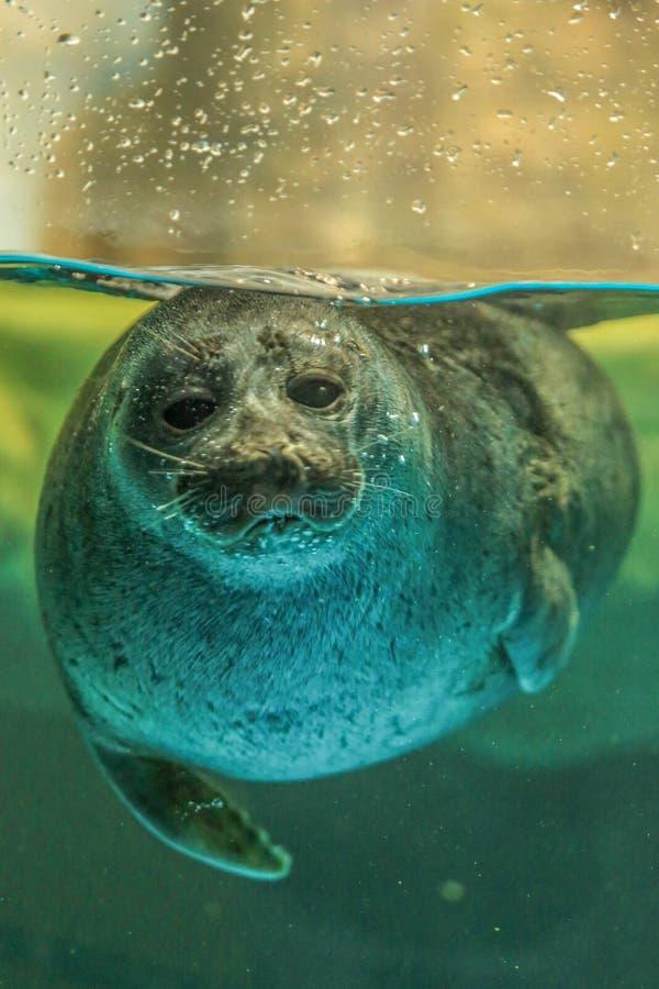 封印游泳由玻璃面孔决定 免版税图库摄影