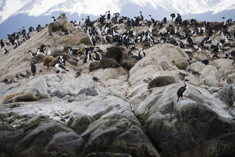 封印牧群lounging与候鸟一起在南极洲 库存照片