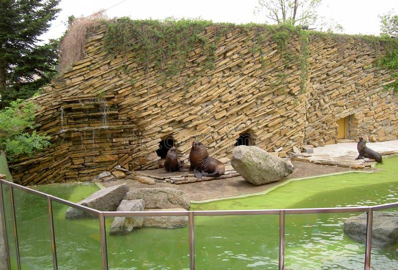 封印,由墙壁的海狮在动物园莱什纳,Zlin,捷克里 免版税库存照片