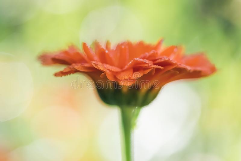 射击接近的花金盏草,在被弄脏的自然sunl的万寿菊 免版税库存图片