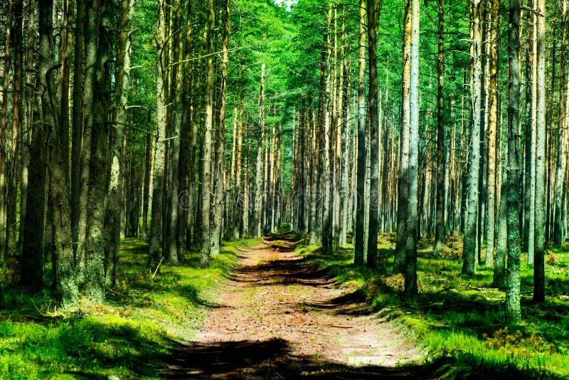 射击杉木森林和青苔的厚实的层数 免版税库存照片