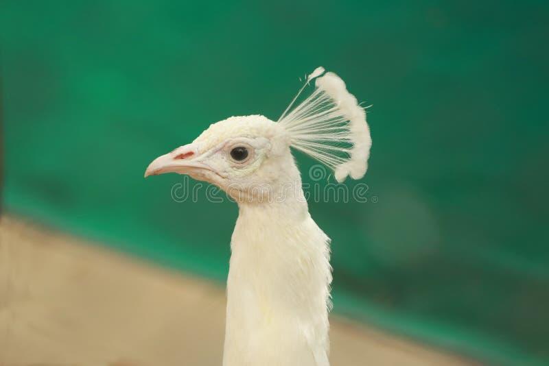 射击的白色孔雀关闭 库存图片