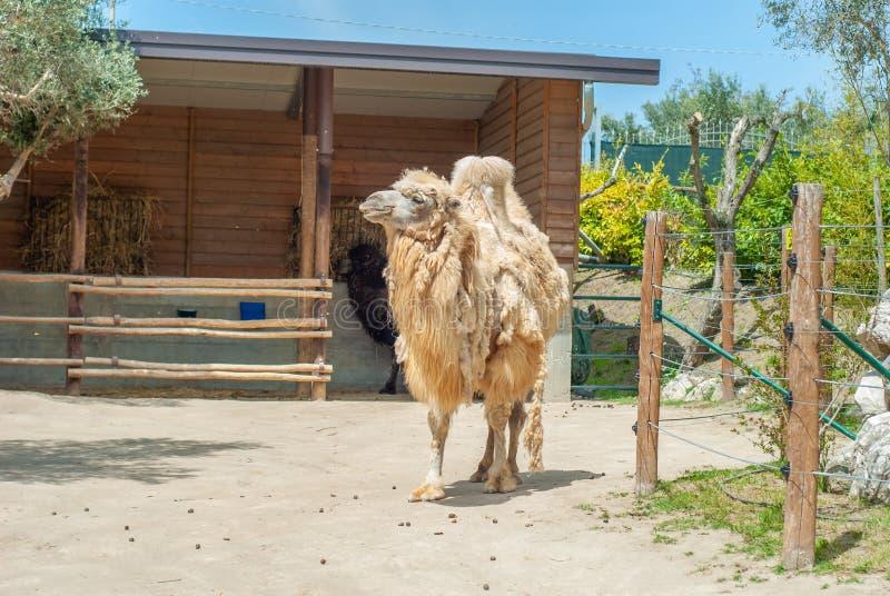射击骆驼,流洒它的白色毛皮 图库摄影