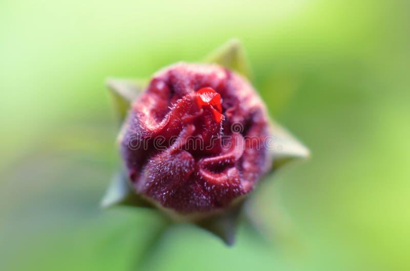 将开花的红色花蕾,外面边仍然包裹与年轻绿色叶子 免版税图库摄影