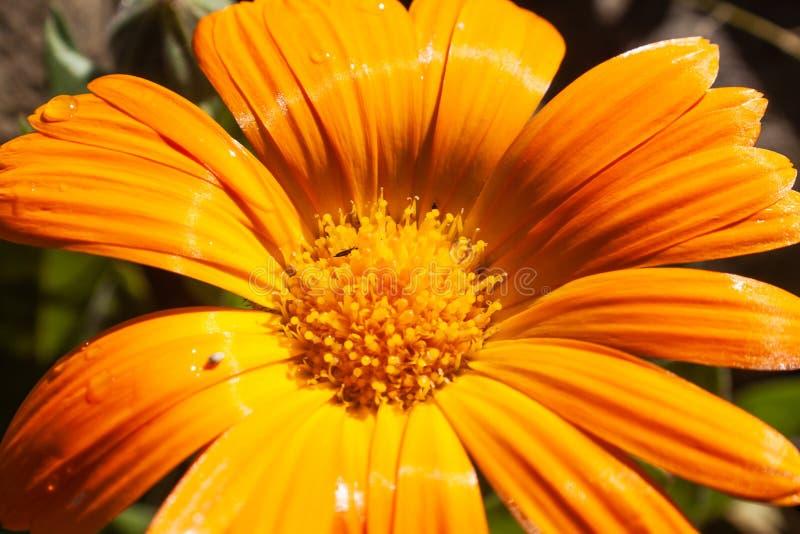 小下落和轻地浇灌,关闭对美丽的小黄色花 免版税库存图片