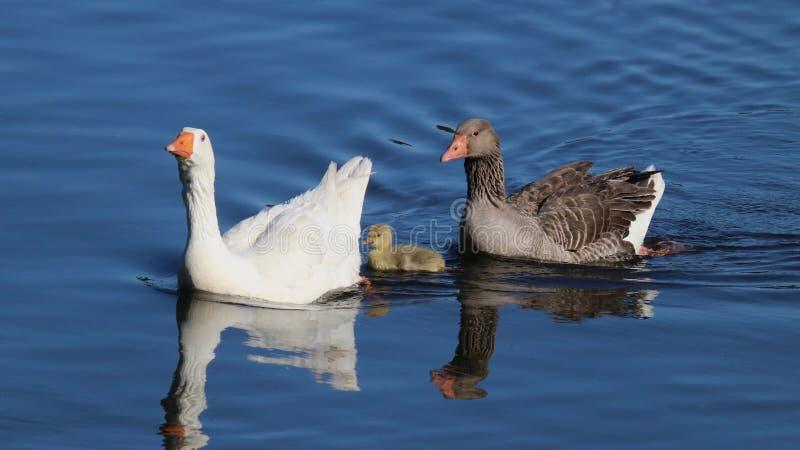 小与它的鹅游泳` s做父母 库存图片