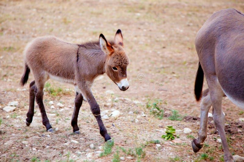 小与母亲的驴骡子 库存照片
