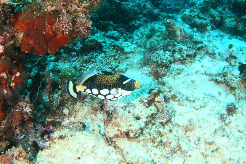 小丑在珊瑚附近的引金鱼游泳 免版税库存照片