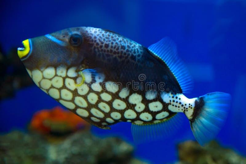 小丑引金鱼,被察觉的引金鱼在水族馆游泳 免版税库存图片