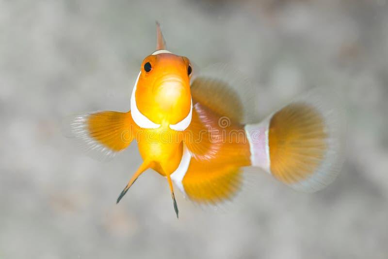 小丑银莲花属鱼 库存照片