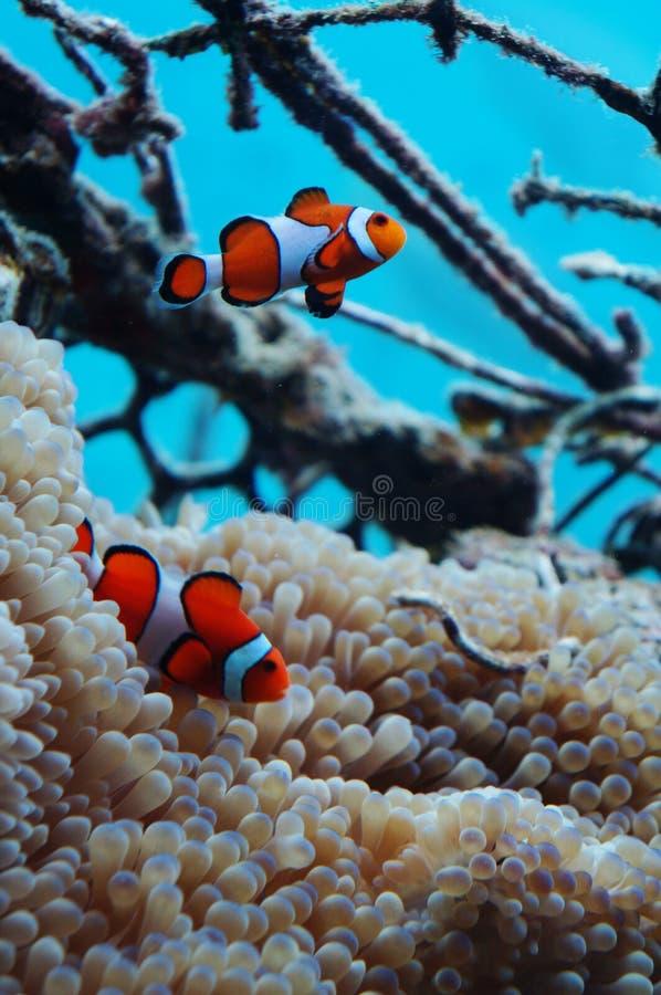 小丑鱼共生与银莲花属 免版税库存照片