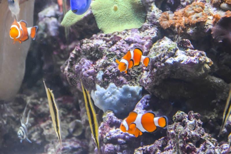 小丑鱼在有珊瑚和其他热带鱼的一个水族馆游泳在水面下 免版税库存图片