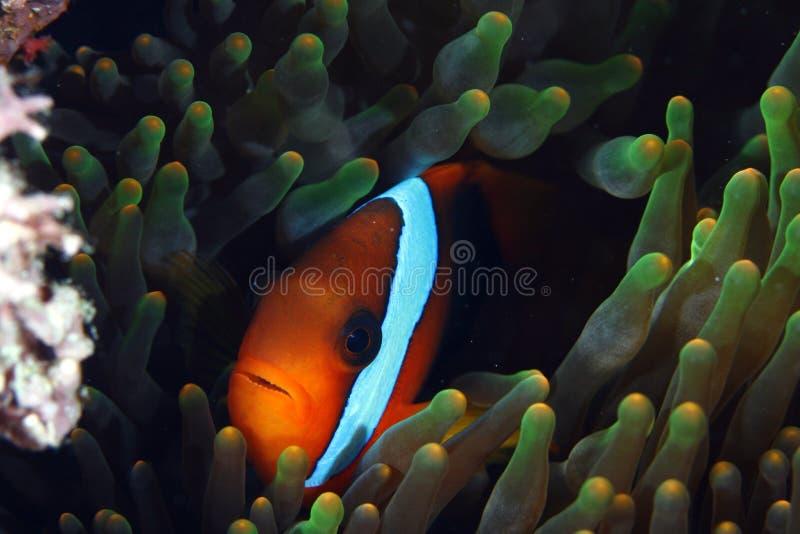 小丑鱼 库存照片