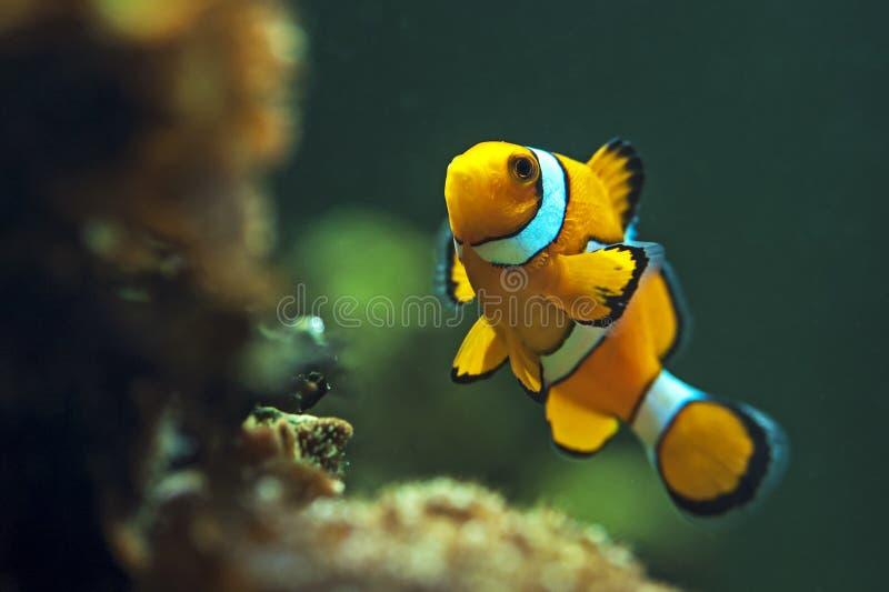 小丑anemonefish,橙色clownfish -双锯鱼percula 库存图片