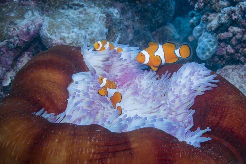 小丑Anemonefish 库存照片