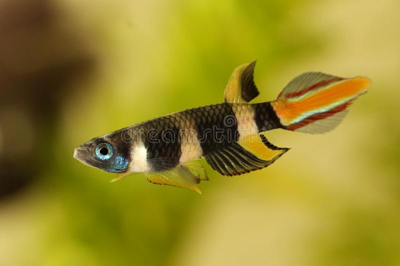 小丑killi被结合的panchax锵鱼鱼男性Epiplatys annulatus热带水族馆鱼 库存照片