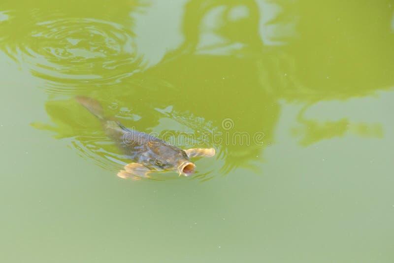 小井表面上的鱼游泳在与嘴开放宽的绿色水中 库存照片