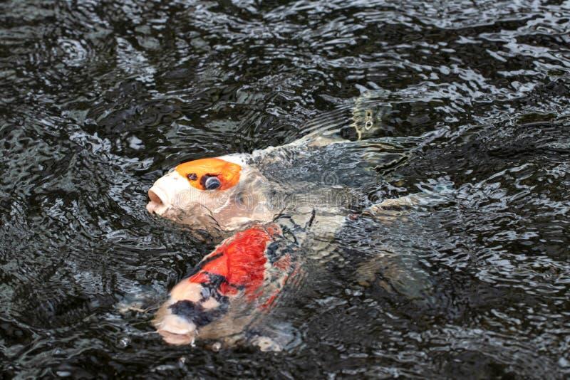 小井鱼背景 一个红色和黄色游泳的日本小井鲤鱼的特写镜头与波浪波纹的 E 库存图片