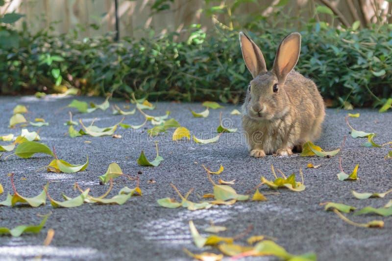 小兔开会在绿色灌木前的领域保持了平衡 库存图片