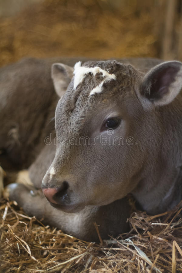 小公牛犊画象 库存图片