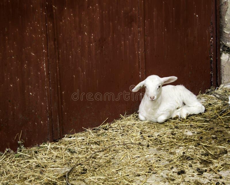 小农厂羊羔 图库摄影