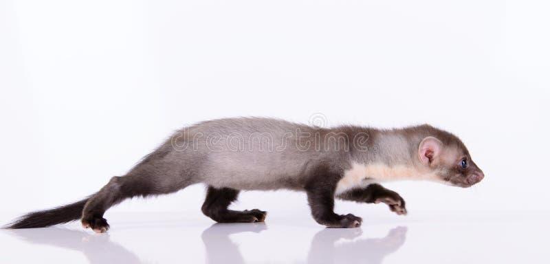 小动物啮齿目动物 免版税库存照片