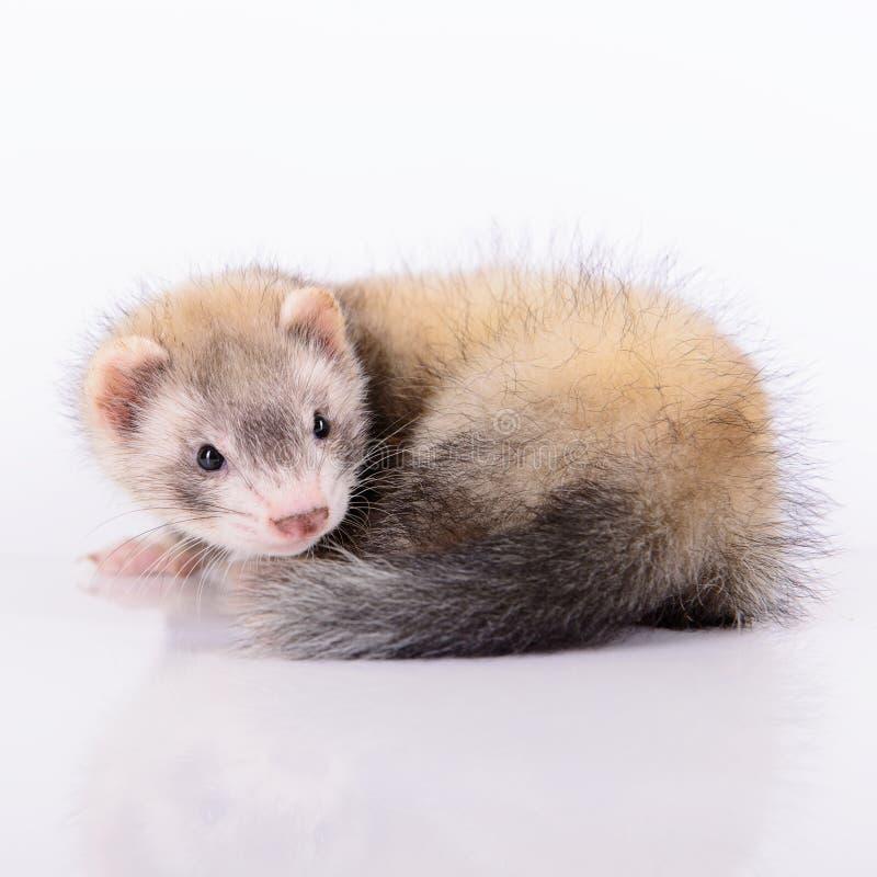 小动物啮齿目动物 库存图片