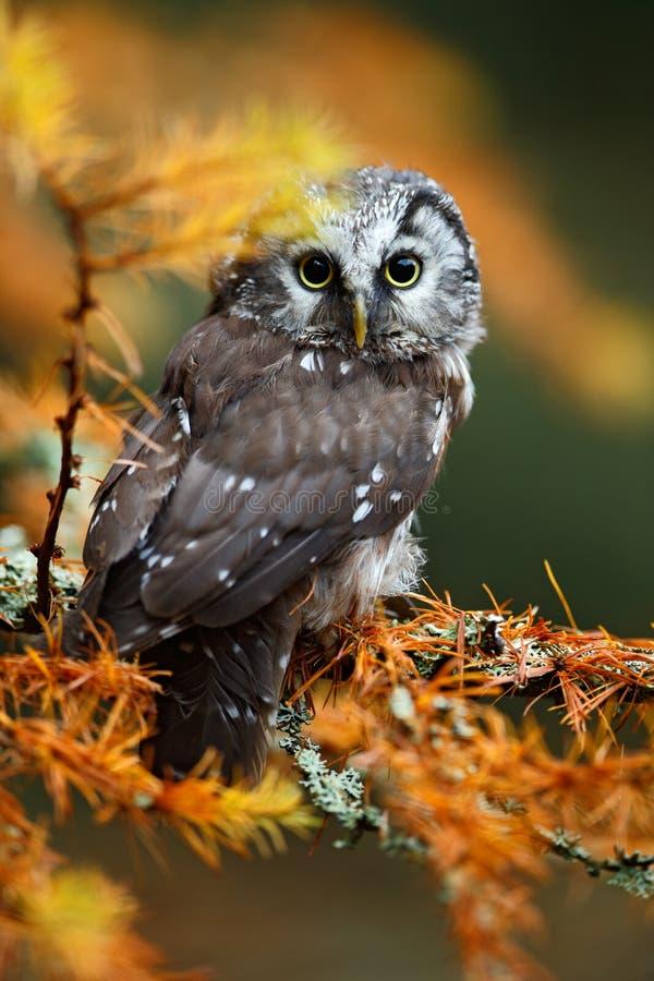 小北方猫头鹰详细的画象在橙色落叶松属森林里在中欧 库存图片