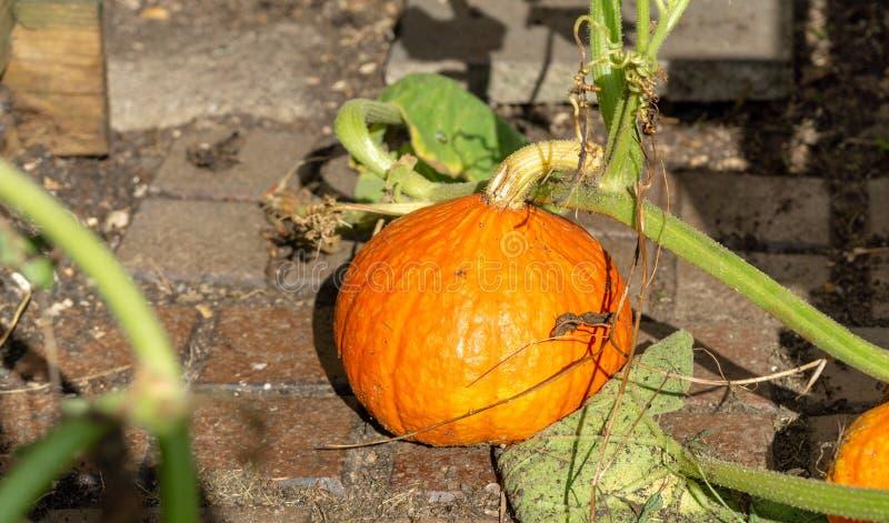 小南瓜或瓢在庭院里 图库摄影