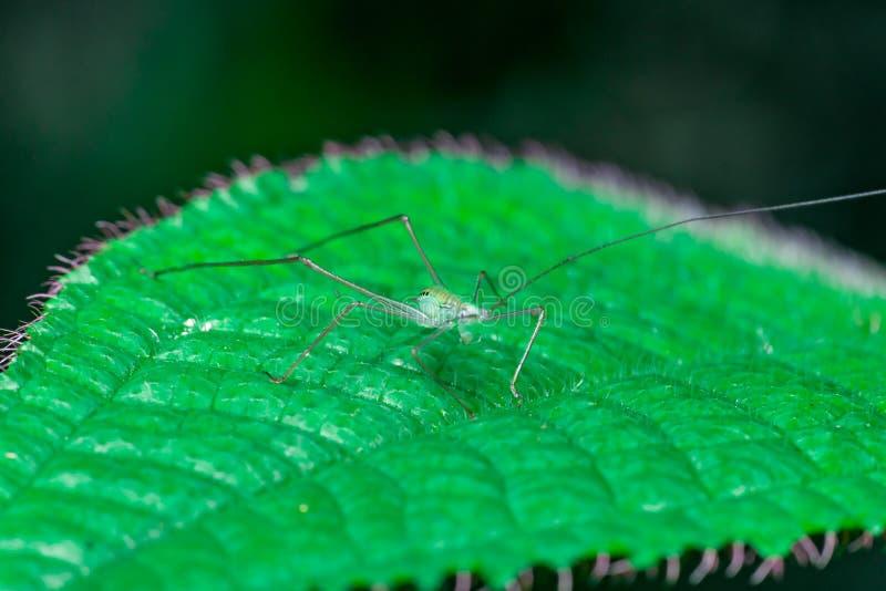 小和绿色蟋蟀Grylloidea 图库摄影