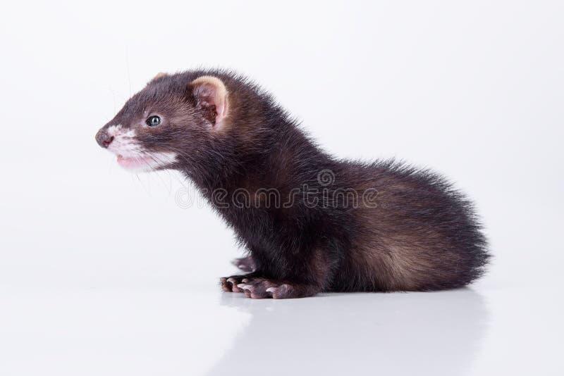小啮齿目动物白鼬 库存图片