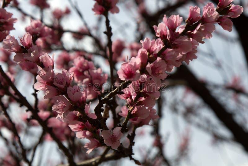 小喜马拉雅地区开花苹果杏果园 库存图片