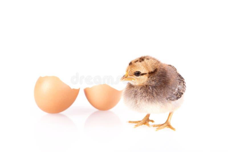 小在白色隔绝的鸡和鸡蛋 免版税库存图片