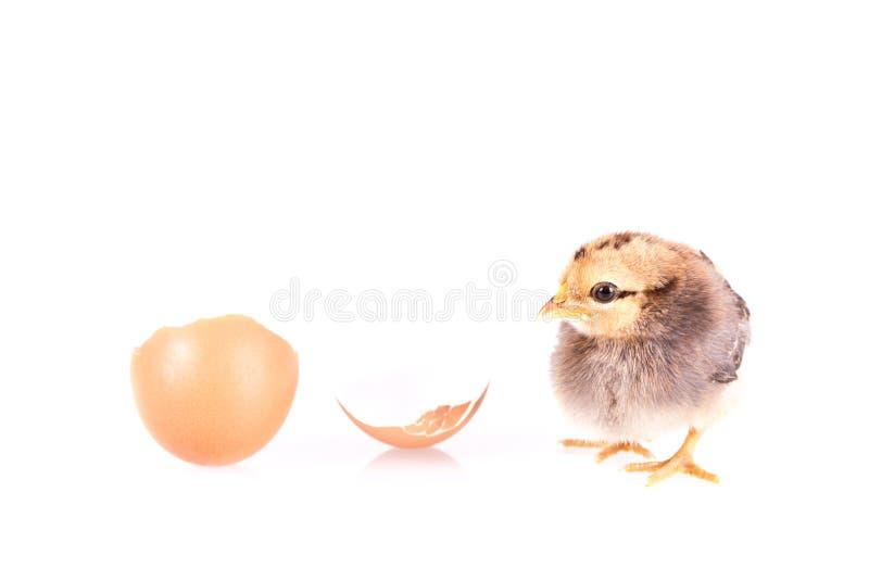 小在白色隔绝的鸡和鸡蛋 免版税库存照片