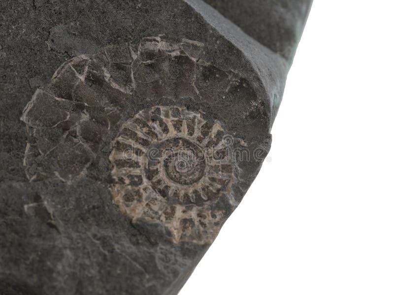 小在石头的炸药史前化石特写镜头  找到在侏罗纪海岸,在Lyme海湾附近,英国 考古学 免版税库存照片