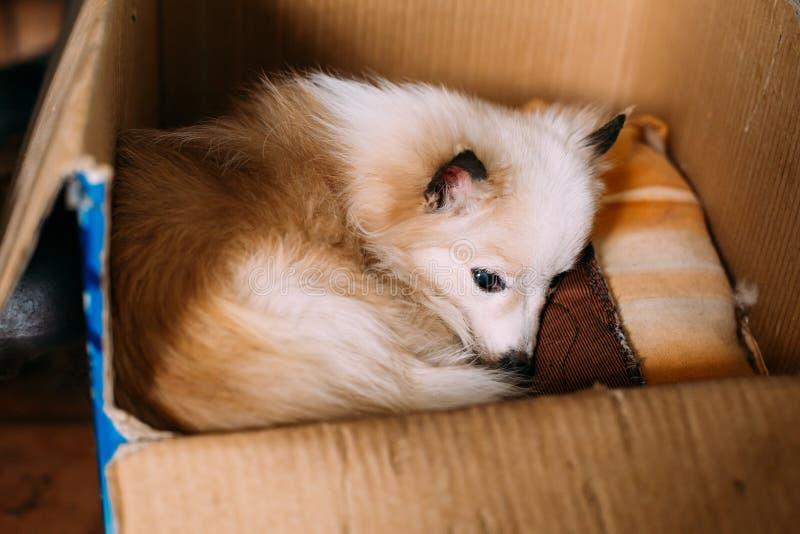 小型杂种动物与刺耳朵的被混合的品种白色红色成人狗 库存照片