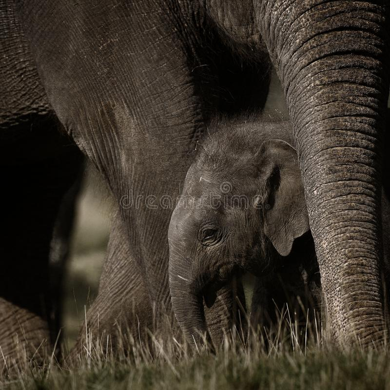小大象的母亲 免版税库存图片