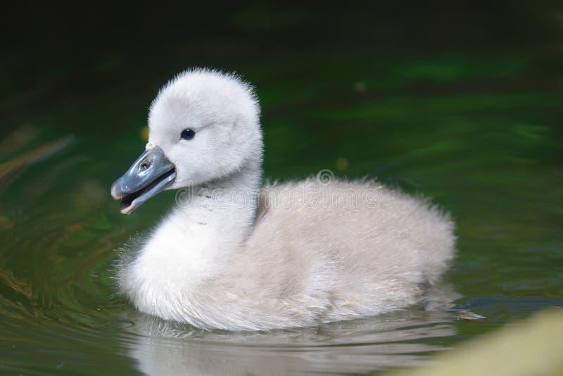小天鹅游泳在水中 免版税库存照片