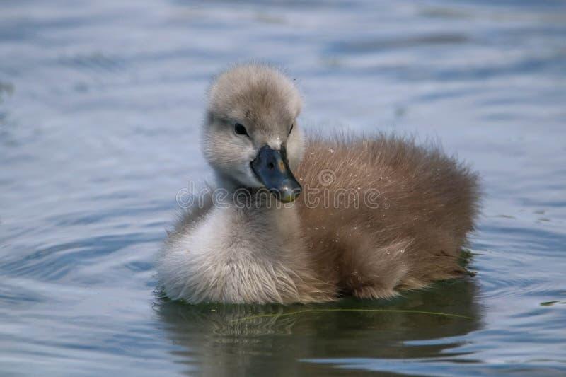 小天鹅游泳在水中 图库摄影