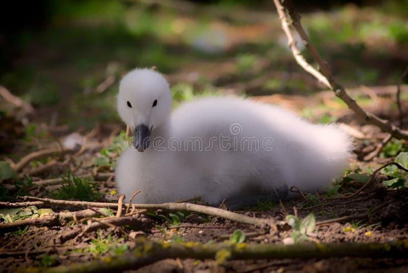 小天鹅 美丽的小天鹅 蓬松逗人喜爱的黑收缩的天鹅小鸡 免版税图库摄影