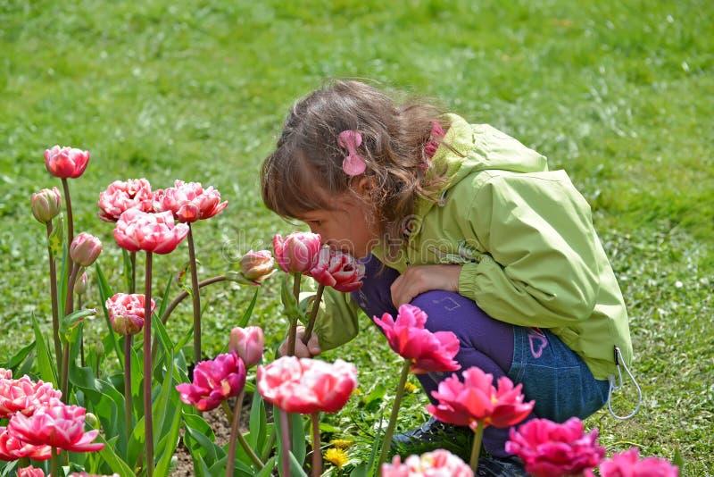 小女孩在春天庭院里嗅到桃红色郁金香 库存照片