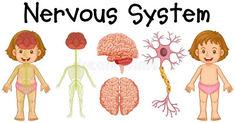 小女孩神经系统  库存例证
