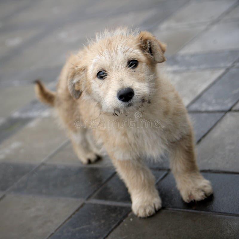 小奶油色的小狗 免版税库存照片