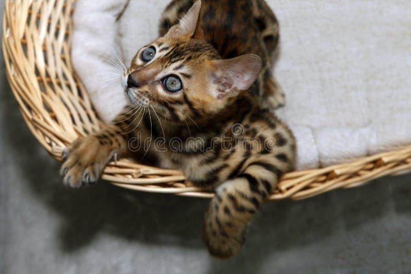 小孟加拉小猫 免版税图库摄影