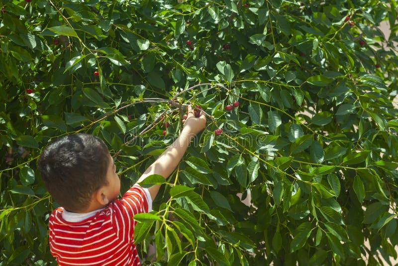 小孩从树的采摘樱桃在庭院里 六岁的中东男孩摘未加工的樱桃果子 家庭获得乐趣在收获 库存照片