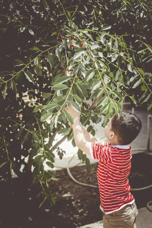 小孩从树的采摘樱桃在庭院里 六岁的中东男孩摘未加工的樱桃果子 家庭获得乐趣在收获 库存图片