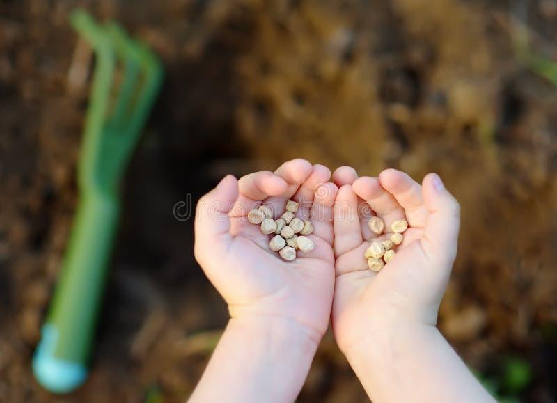 小孩植物豌豆种子在床上在庭院里在夏天好日子 花匠手、园艺工具和豌豆种子特写镜头 库存图片