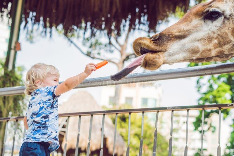 小孩男孩观看的和哺养的长颈鹿在动物园里 获得愉快的孩子与动物徒步旅行队公园的乐趣在温暖的夏日 库存图片