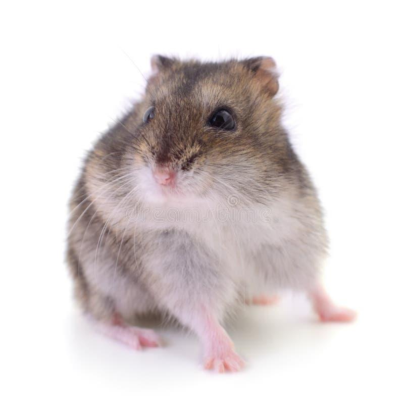 仓鼠包括有宠物,图片,哺乳动物,啮齿目鼠标,逗人喜爱,鹦鹉养一只动物有什么v仓鼠图片